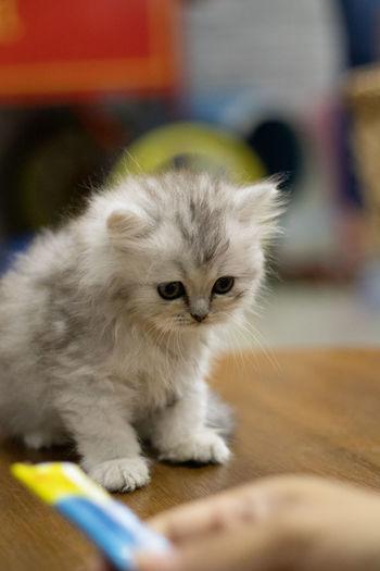 Portrait of white kitten on floor