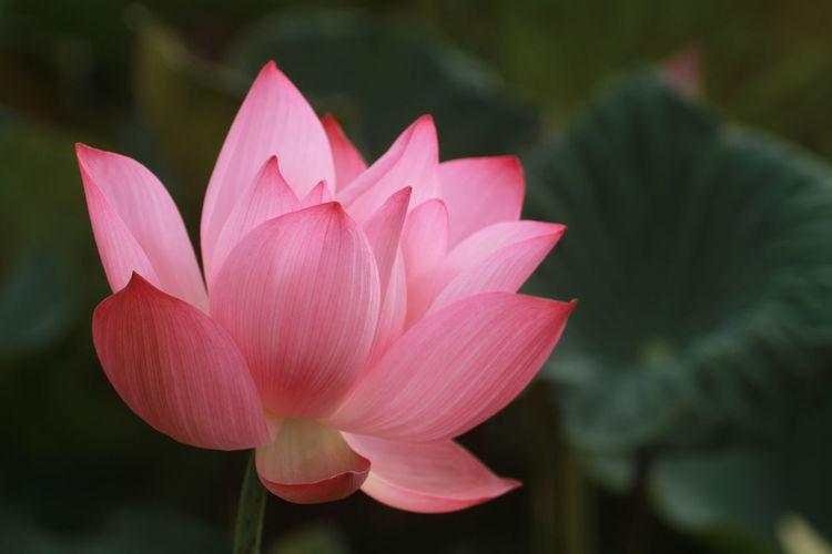Close-up of pink lotus  in pond