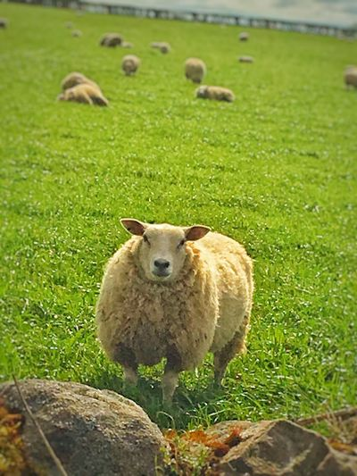 Grass Animal Themes Green Color Field Mammal One Animal Livestock Day Domestic Animals Nature No People Outdoors Growth Sheep Portrait Beauty In Nature Close-up