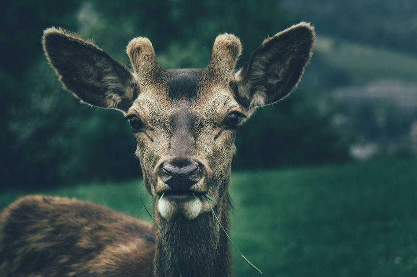 Close-up portrait of a deer in Sankt Gallen, Switzerland Deer Close-up Portrait Animal Portrait Animal Animals Animal Themes Wildpark Peter Und Paul Sankt Gallen Wildlife Wild Reh Switzerland Swiss Swiss Animal Forrest Animal Suiza Svizzera Suisse  Animaux Tiere Wildtiere Animal Face Eating Animal
