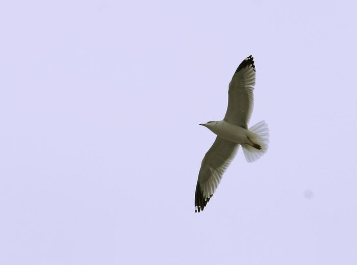 Gull flying Flying Bird Animals In The Wild Animal Animal Wildlife Animal Themes Spread Wings Vertebrate One Animal Mid-air No People Motion Clear Sky Low Angle View Sky Nature Copy Space Outdoors Day Beauty In Nature Seagull Flight Gull Gulls Birds