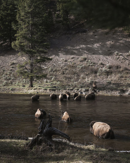 High angle view of american bison crossing lake