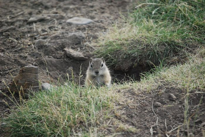 """""""Hi! Welcome to my home!"""" 🏡 One Animal Mammal Rodent Animals In The Wild Animal Wildlife Animal Themes Outdoors Day No People Nature Grass Groundhog Small Groundhog Peeking Animals Peeking Out Groundhog Squirrel Animal Looking At Camera Welcoming Curious Animal Cute Animal Furry Friend Furry Squirrel at Diamond Lake , Oregon"""