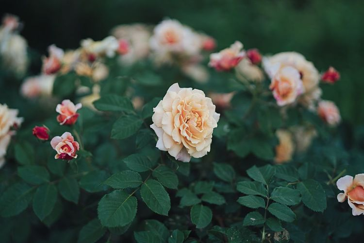 ☝🏽 Flower Flowering Plant Beauty In Nature Freshness Vulnerability  Fragility Petal Flower Head Plant Part Close-up Rose - Flower Leaf Pink Color Focus On Foreground No People Rosé Nature Growth Plant