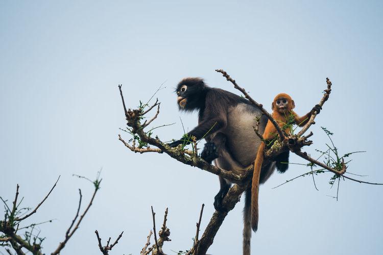 Dusky leaf monkey mother and baby Animal Animal Family Animal Wildlife Animals In The Wild Dusky Leaf Monkey Langur Mammal Monkey Nature Primate