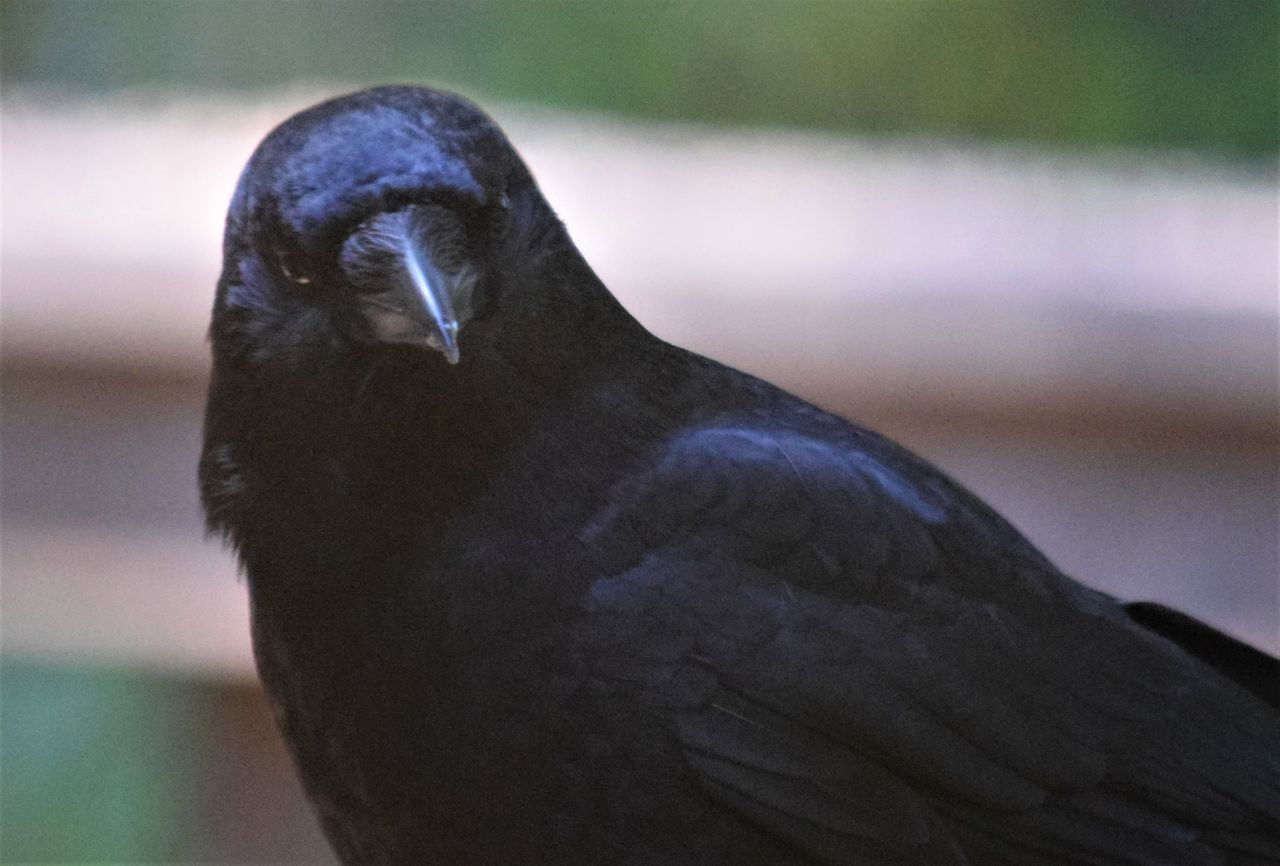 PORTRAIT OF BLACK BIRD