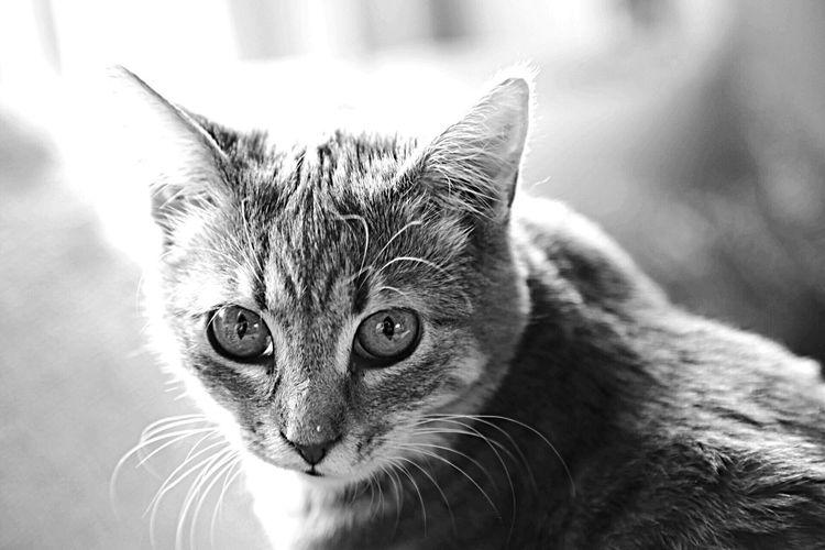 Cat Kitten Cute Feline Whisker Whiskers Grey Small Cat Prettycatface Kittenface Kittens Furry animal Animal Pet Pets Cute Cats