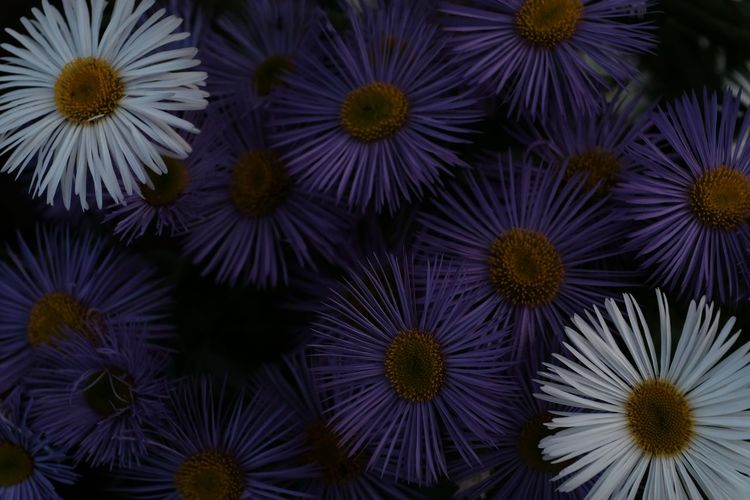 Full frame shot of purple and white flowers