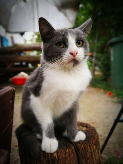 Macsesz 🐱Pet Portraits Cat Hamu Hamuszürke Kitty Kitten Cats Cats Of EyeEm 😚 Gray Cat Gray Color Beautiful Cat