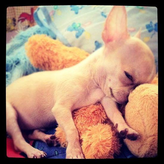 Sleepy head ? Chihuahua Applehead Babyelmo Pets petstagram petoftheday photooftheday popular popularpage dogs dogstagram dogoftheday igers igerscebu igersmanila webstagram iphoneography
