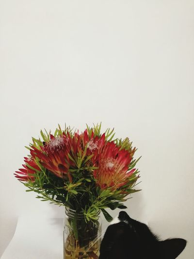 Curiosity did what to the cat? Pink Color White Background Nature Cat Catsofeyem Kitty Smell The Flowers Protea Fynbos South African Flora Still Life Flowers