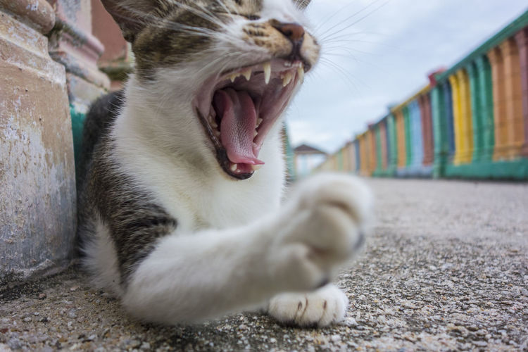 Close-up of stray cat yawning on street against sky