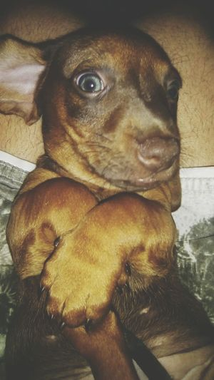 Dachshund Pets Dog Domestic Animals One Animal Animal Themes Mammal Indoors  No People Close-up Day