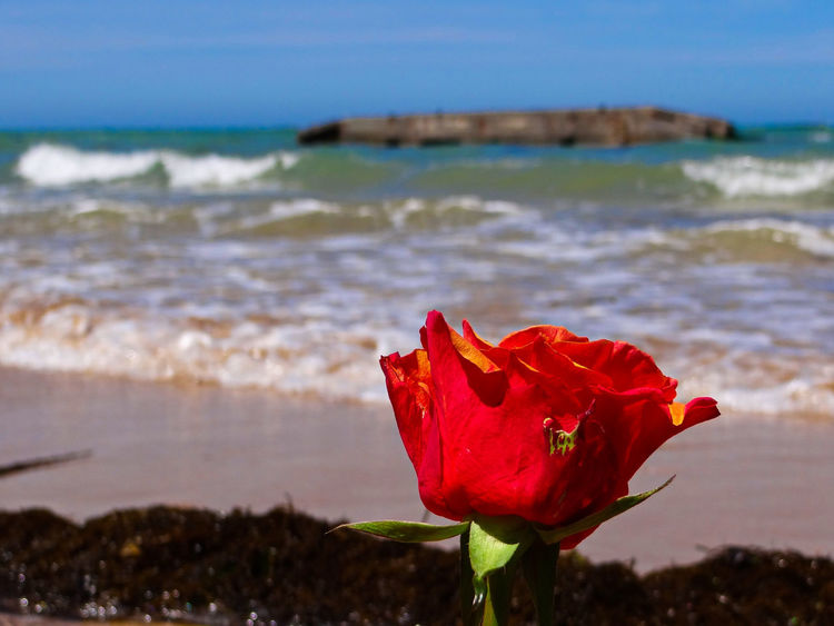 Roses laid to rest on Gold Beach, Normandy. Behind the remains of one of the floating pier heads of the Mulberry Harbour, constructed in the days after D-Day. Arromanches Beach Beauty In Nature Close-up D-Day D-Day Beaches Day Flower Flower Head Focus On Foreground Fragility France Freshness Gold Beach Growth Mulberry Harbour Nature No People Normandy Normandy Beach Outdoors Plant Red Sea Water