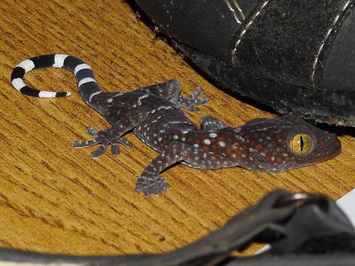 This baby Tokay gecko likes shoes Thailand Animal Encounters Tokay Tokay Gecko Stripes Pattern Animal Pattern Reptile Eye Lizard Eye ASIA Life In Asia Reptile Close-up Gecko Lizard Exotic Pets Camouflage Animal Markings Animal Skin
