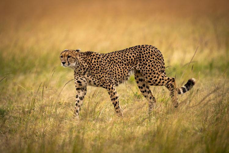 Cheetah walks through long grass staring ahead Africa Kenya Kicheche Masai Mara Savannah Savanna Safari Nature Travel Predator Cat Big Cat Acinonyx Jubatus Mammal Animal Wildlife