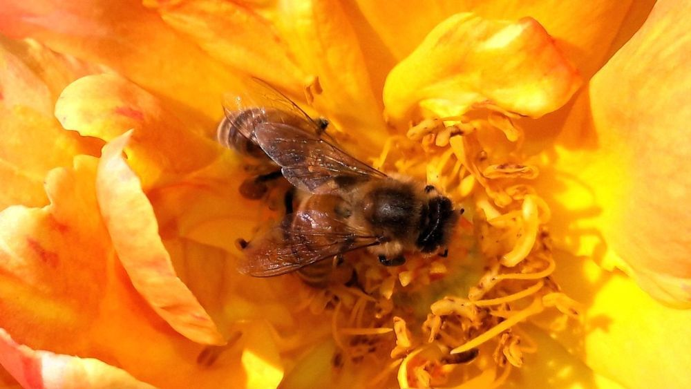 Insect One Animal Animals In The Wild Animal Wildlife Animal Themes Bee Honey Bee Nature Close-up No People Flower Yellow Fragility Pollination Outdoors Day Freshness