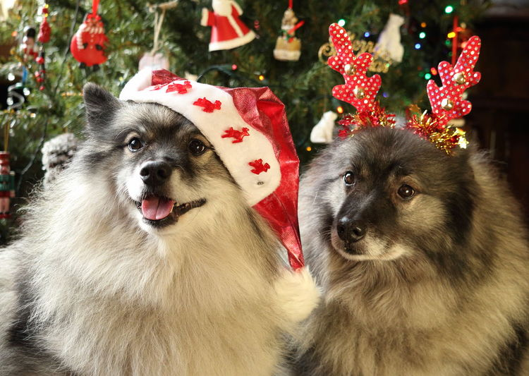 Dogs In Christmas Hats Looking Away