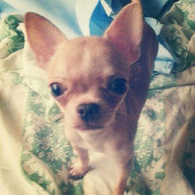 Chihuahua Applehead Dogstagram Petstagram petoftheday dogoftheday pets dogs igersmanila ignation iphoneography webstagram igerscebu