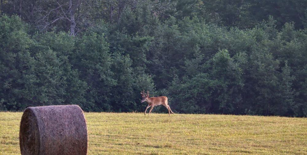 View of a deer on field