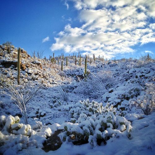 snow on saguaros...an unexpected scene in southern Arizona's Saguaro National Park... Deepfreeze Arizona NEM Landscapes Winter Saguaro National Park Tucson The Great Outdoors - 2015 EyeEm Awards Edge Of The World EyeEm Nature Lover Deserts Around The World IPSWeather My Winter Favorites It's Cold Outside The Great Outdoors - 2016 EyeEm Awards Nature's Diversities Ice Age
