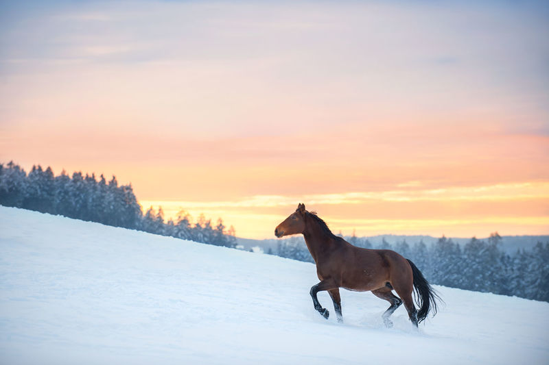 A westphalian horse walks through high snow. the snow splashes up. in the background is a forest