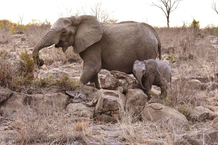 Two Is Better Than One Elephants Sabi Sands Africa Wildlife EyeEm Gallery Nationalgeographic