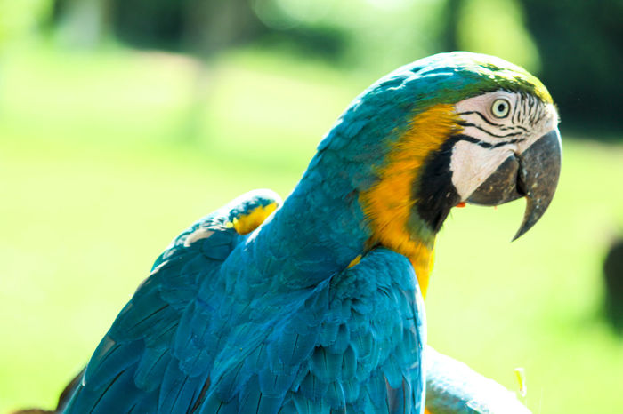 Olhar de uma Arara azul Arara Araraazul Araraamarela Animals In The Wild Bird Animal Themes One Animal Animal Wildlife Focus On Foreground Macaw Gold And Blue Macaw Blue Outdoors No People Day Beauty In Nature Close-up Beak Nature Parrot Perching