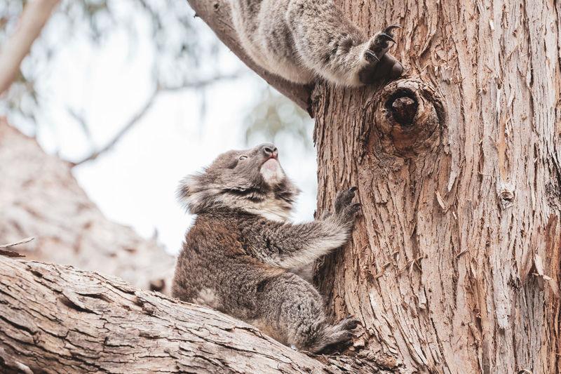Close-up of koala on tree trunk
