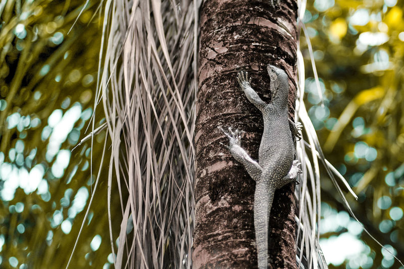Tree Trunk Plant Focus On Foreground Low Angle View Tropical Climate Palm Tree Close-up Beauty In Nature Coconut Palm Tree Lizard Monitor Lizard Reptile Wildlife Backyard Wildlife Animal Biawak Komodo Dragon Nature Outdoors