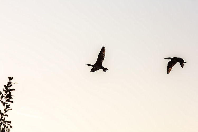 Animal Themes Animal Wildlife Animals In The Wild Beauty In Nature Bird Bird Of Prey Clear Sky Day Flying Full Length Low Angle View Motion Nature No People Outdoors Silhouette Sky Spread Wings