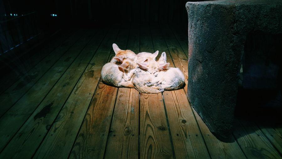 Foxes Sleeping Animals Zoo Wooden Floor Lighting Under The Lights