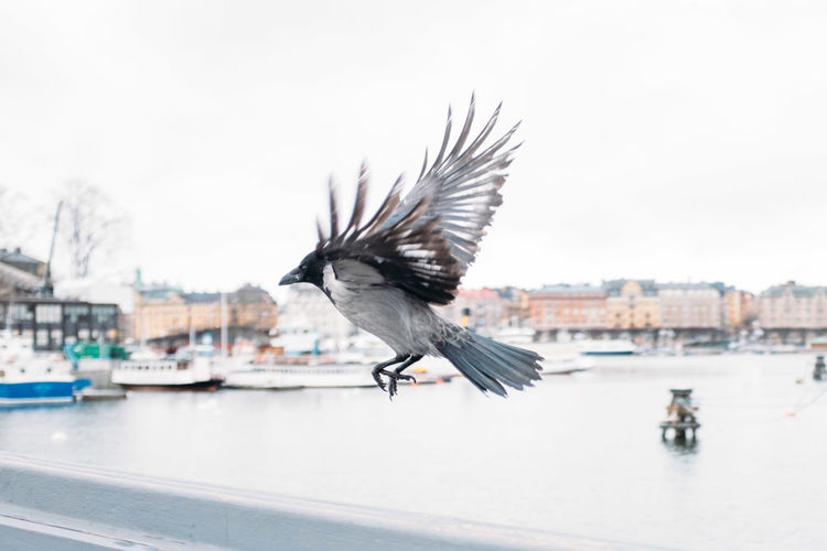 Side View Of Crow Flying In City Against Sky
