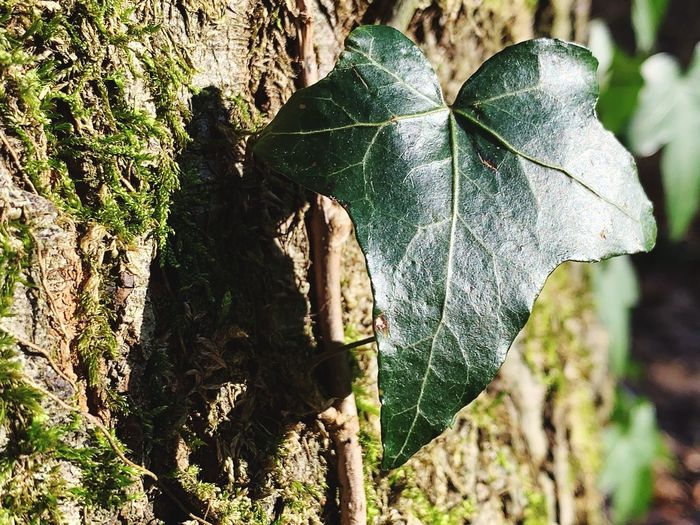 Leaf Plant Plant Part Close-up Nature Tree Day Focus On Foreground Growth Trunk No People Tree Trunk Outdoors Green Color Beauty In Nature Leaf Vein Land Sunlight Forest Vulnerability  Bark