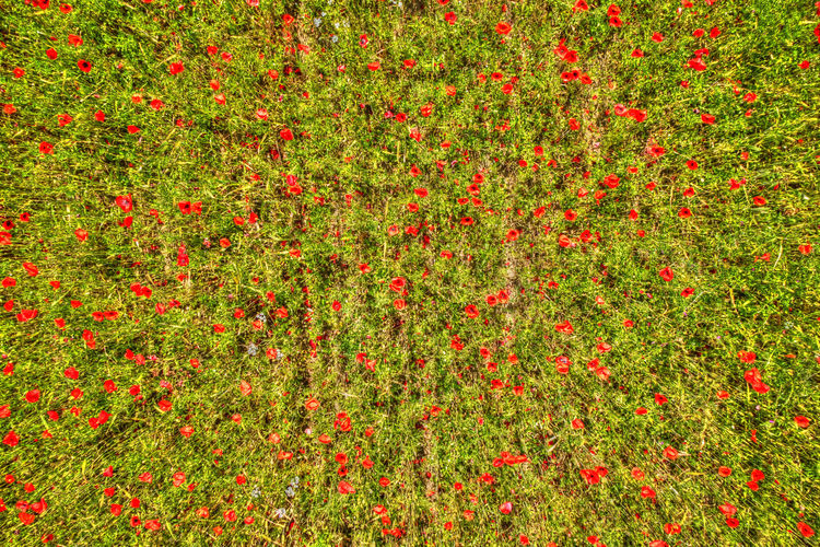 Aerial view of a field of poppies in full bloom Field Red Drone  View Aerial Landscape Poppy Summer Nature Flower Beautiful Background Agriculture Season  Outdoors Grass Scene Growth Scenic Lines Countryside Perspective Freshness No People Beauty In Nature Day Flowering Plant