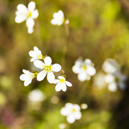 Meadow Saxifrage (Saxifraga granulata), on green roof garden, England, United Kingdom Beauty In Nature Blooming Close-up Day Flower Flower Head Focus On Foreground Fragility Freshness Growth Nature No People Outdoors Petal Plant White Color