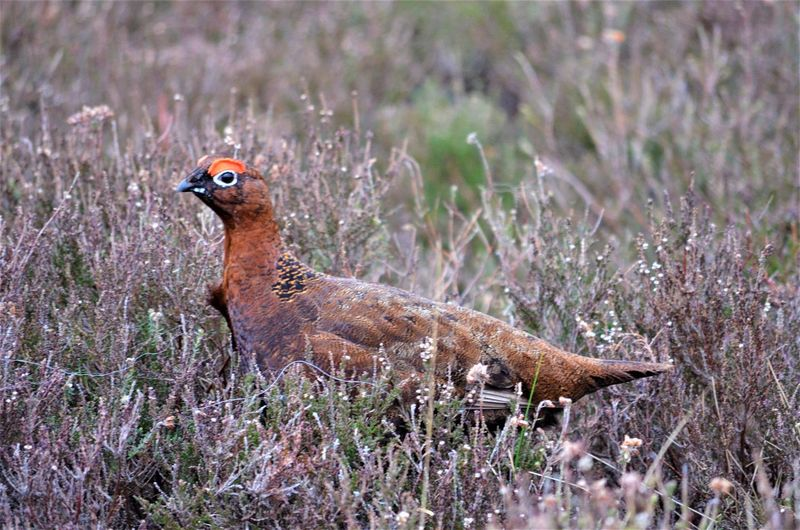 Animal Themes Animal Animal Wildlife Bird Animals In The Wild One Animal Grass Plant Vertebrate Nature No People Land Field Full Length Day Focus On Foreground Side View Bird Of Prey Outdoors Selective Focus Profile View Wildlife By Tania Andreea Wildlife Red Grouse