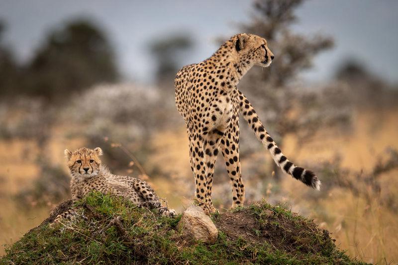 Cheetah stands with cub on grassy mound Cheetah Acinonyx Jubatus Predator Cat Big Cat Kenya Masai Mara Africa Kicheche Nature Travel Animal Wildlife Animal Themes Animals In The Wild Animal Wildlife One Animal Mammal Feline No People Undomesticated Cat Vertebrate Focus On Foreground Spotted Leopard Plant Safari Outdoors Arid Climate