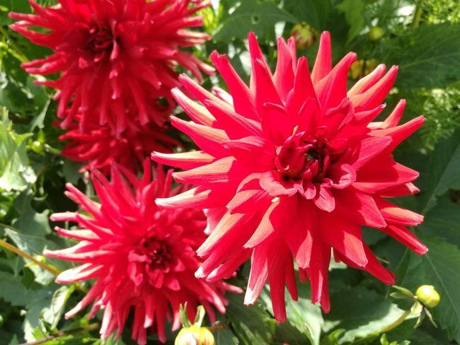 Crimson Flower Dhalia