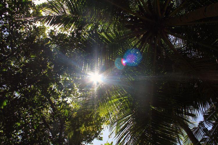 Sun Palm Tree