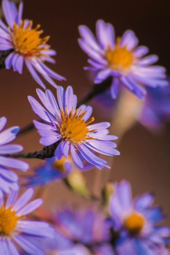 Purple Asters Flowering Plant Flower Freshness Fragility Beauty In Nature Petal Vulnerability  Plant Flower Head Growth Inflorescence Close-up No People Pollen Selective Focus Purple Outdoors Day Yellow Spring Nature Nature_collection Nature Photography EyeEm Nature Lover Aster