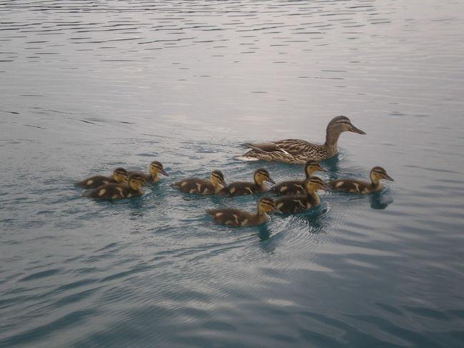 Animal Animal Family Animal Themes Animal Wildlife Duckling Ducks Lake No People Outdoors Swimming Water Water Bird Wildlife Young Animal