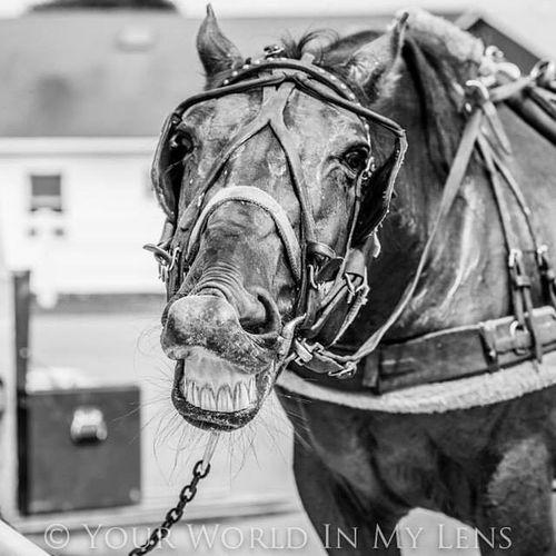 Horse Smiling Smilinghorse Amishcountry blackandwhite yourworldinmylensdotcom smile!