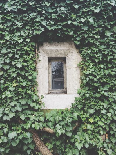 Closed Window Surrounded By Ivy Plants