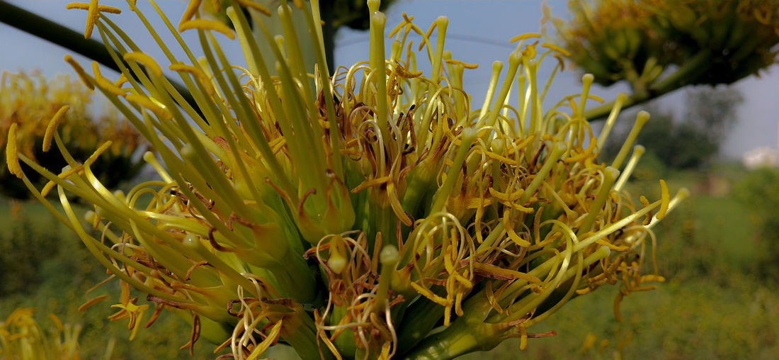 Close-up of yellow flowering plants on field