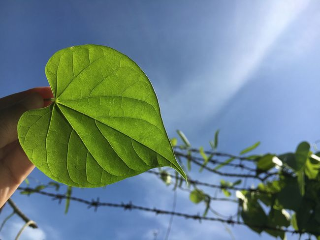Heart-shaped leaves and sky Beauty In Nature Close-up Day Focus On Foreground Fragility Freshness Green Color Growth Hand Heart Shape Leaf Leaves Nature Outdoors Plant Sky Summer Tree