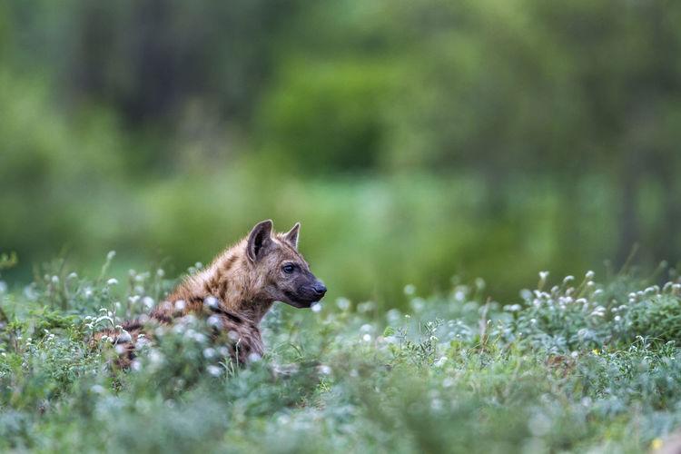 Hyena looking away while sitting on land
