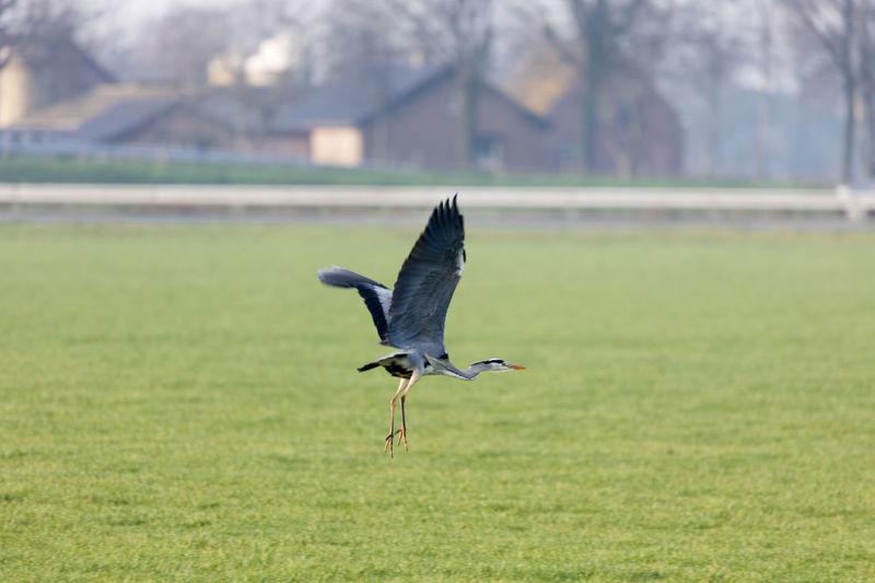 Gray heron flying over grassy field