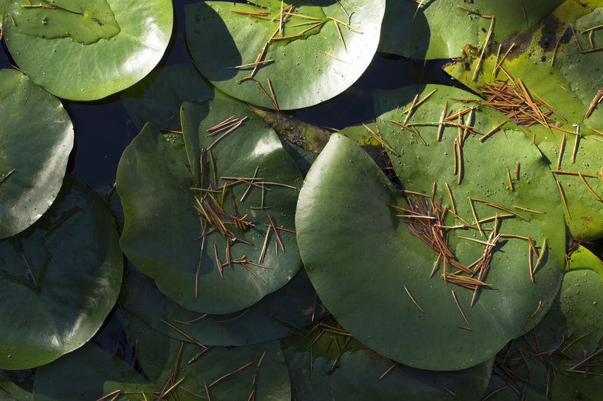 Beauty In Nature Calm Calm Water Close-up Day Float Floating On Water Great Outdoors Green Color High Angle View Lake Leaf Lights Lily Pad Natural Nature Outdoors Peace Plant Rays Of Light Shadow Shadows & Lights Still Life Sunlight Water Lily