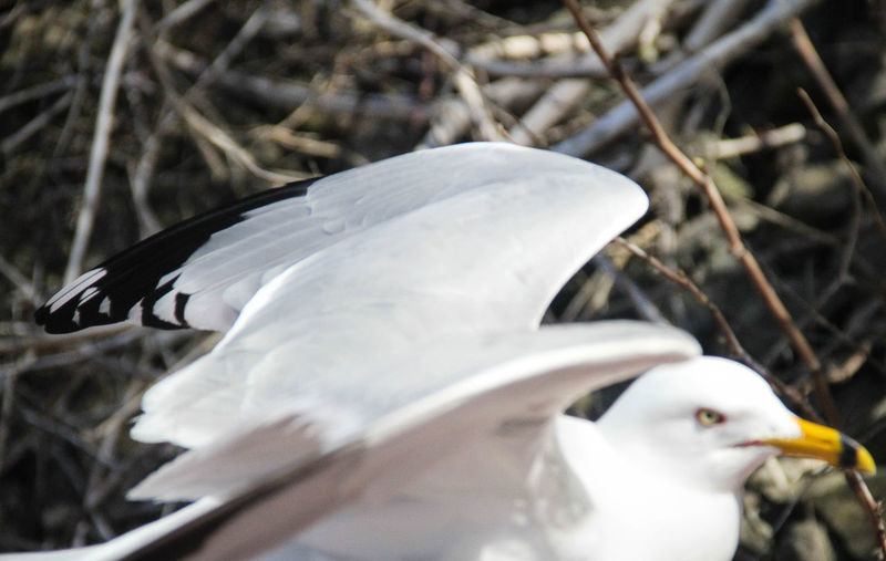 Close-up of white swan perching outdoors